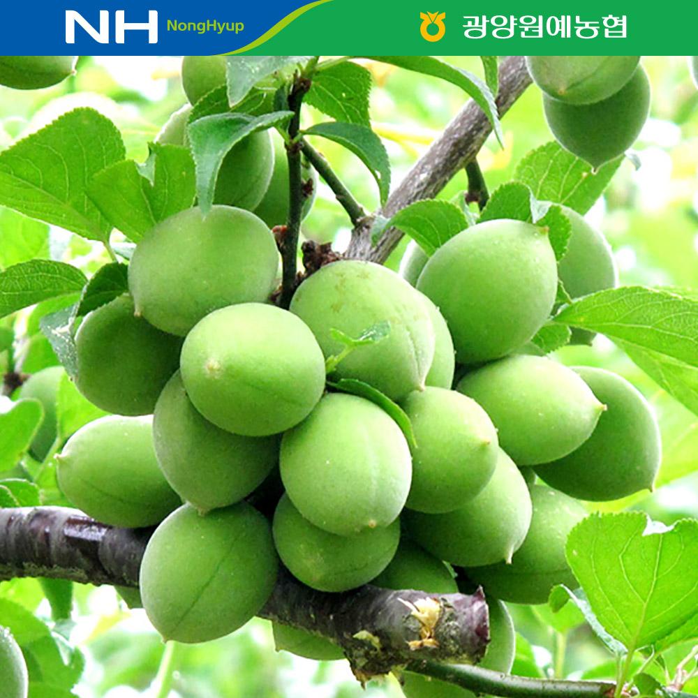 [광양원예농협]농협선별 광양매실 10kg/상,대,특,왕특