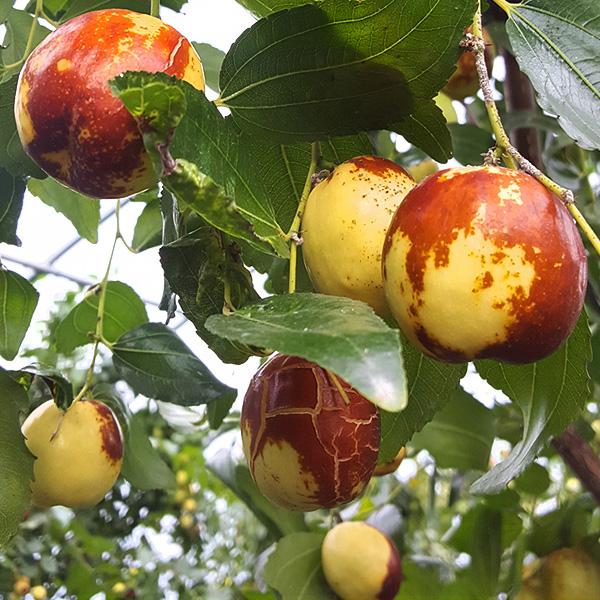 과일예찬 국내산 사과대추 1kg/대사이즈